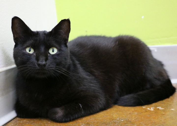 Opal, an adoptable Domestic Short Hair in Carencro, LA