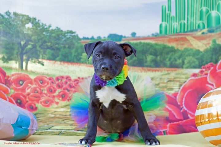 Dog For Adoption Lollipop A Pit Bull Terrier In Durham Nc