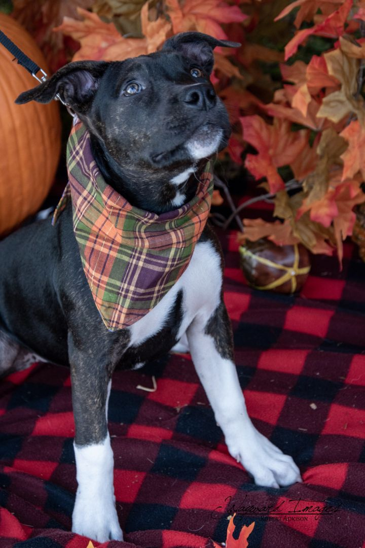 Nipsy, an adoptable Pit Bull Terrier Mix in Springfield, MO
