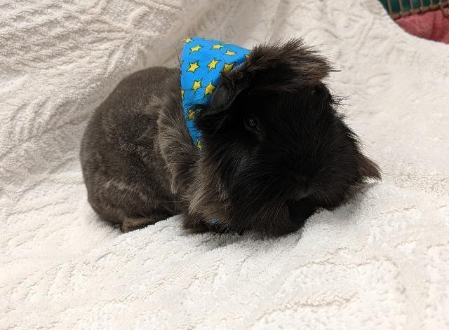 Guinea Pig for adoption - Ruby, a Guinea Pig in Bryant, AR