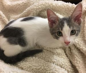 Cat for adoption - Pandora, a Domestic Short Hair Mix in Phoenix, AZ