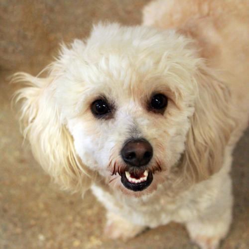 Dog for adoption - Elyse, a Poodle in Waco, TX | Petfinder