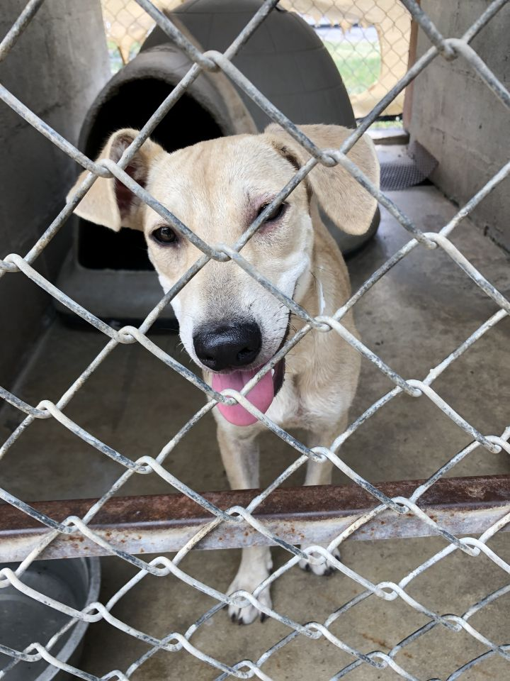 Cleo, an adoptable Labrador Retriever & German Shepherd Dog Mix in Uvalde, TX