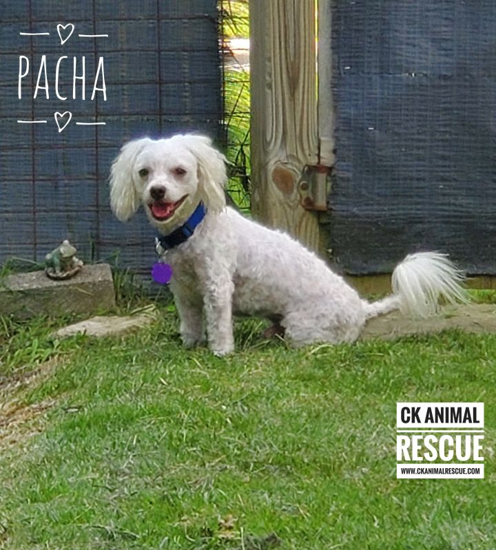 Pacha - Pending, an adopted Maltese & Bichon Frise Mix in Chatham, ON