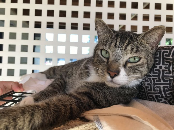 Tiger, an adoptable Domestic Short Hair in Oakland Park, FL