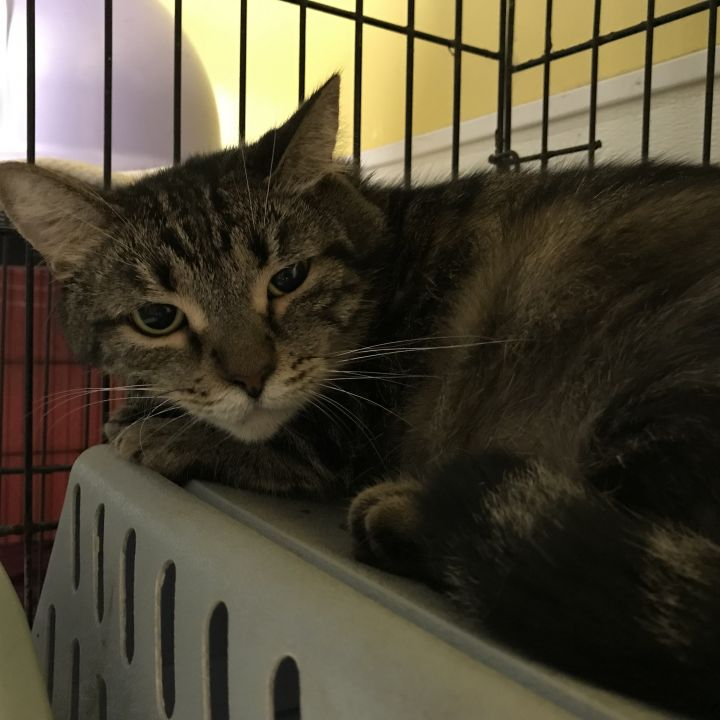 Poka, an adoptable Domestic Short Hair in Pompano Beach, FL