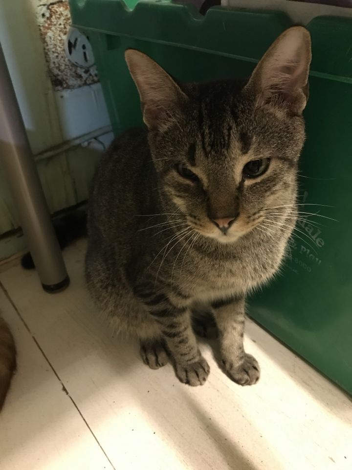 Winkie, an adoptable Domestic Short Hair in Pompano Beach, FL