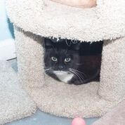Smokey, an adoptable Tuxedo & Domestic Short Hair Mix in Medford, NY