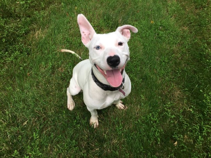 Sally Mae, an adoptable American Staffordshire Terrier Mix in Ewing, NJ