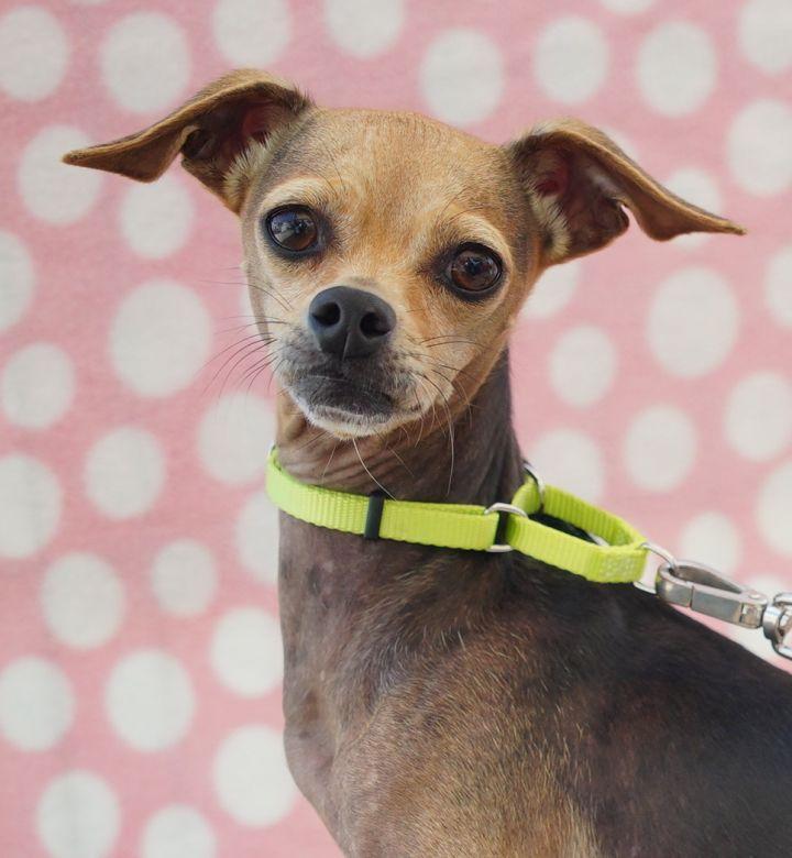 Dog For Adoption Brandi A Chihuahua Xoloitzcuintli Mexican