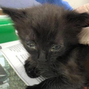 Cat for adoption - Schwarz, a Domestic Short Hair in