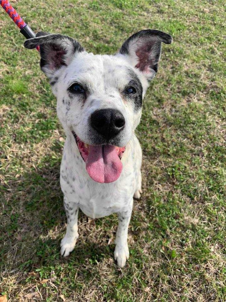Tiki, an adoptable Cattle Dog Mix in New Albany, OH
