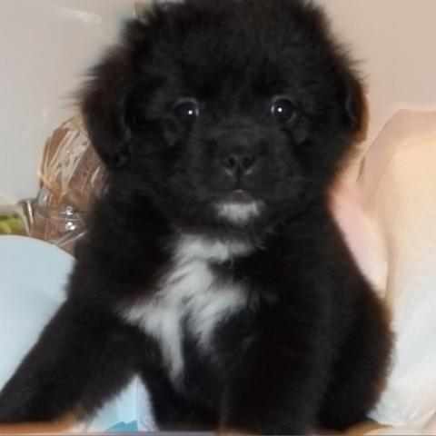 Dog For Adoption Penny A Pomeranian Border Collie Mix In