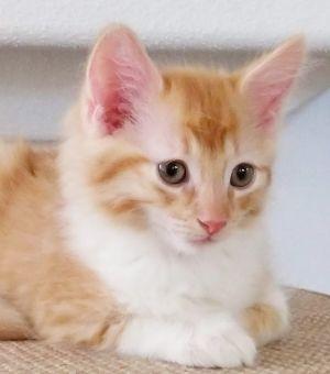 Cat for adoption - Ewan, a Domestic Medium Hair in Phoenix, AZ