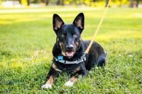 Scooter, an adoptable Shepherd Mix in Springfield, MO