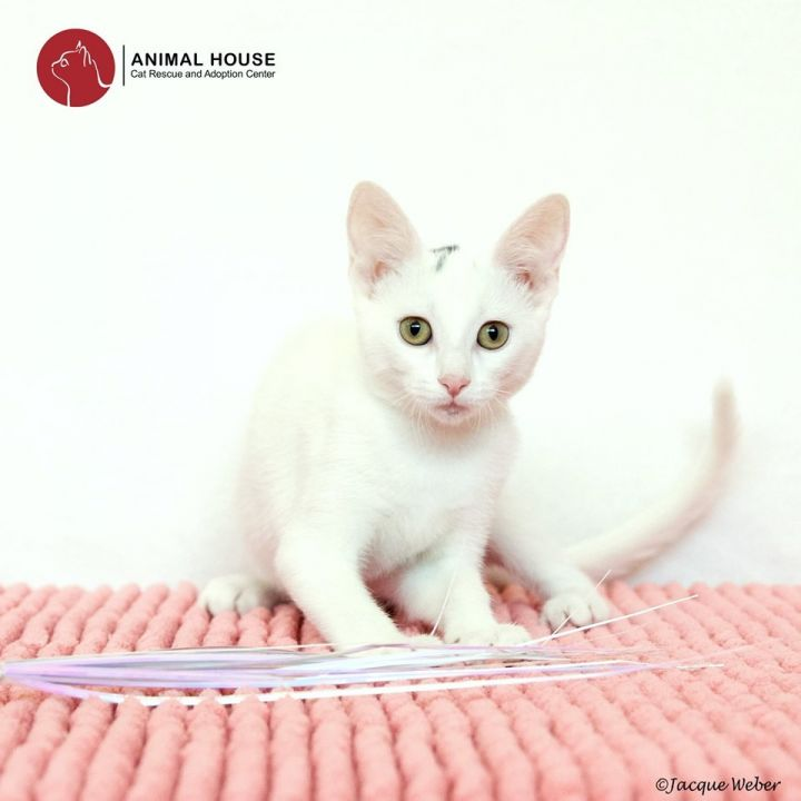 April, an adoptable Domestic Short Hair in St. Louis, MO