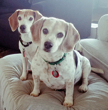 Stella & Maggie, an adoptable Beagle in West Decatur, PA