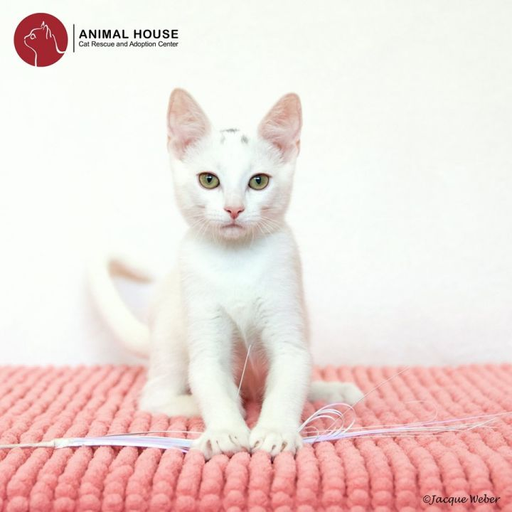 Forrest, an adoptable Domestic Short Hair in St. Louis, MO