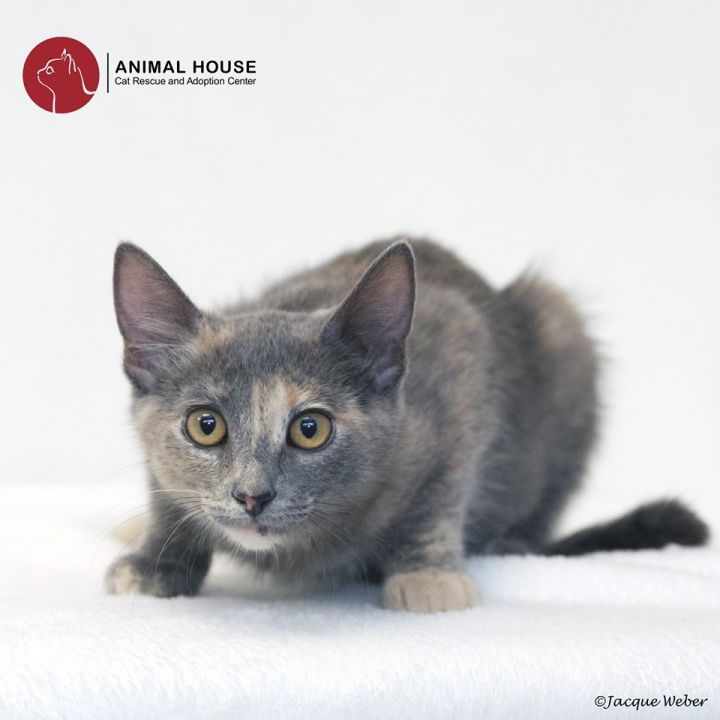 Gemma, an adoptable Domestic Short Hair in St. Louis, MO