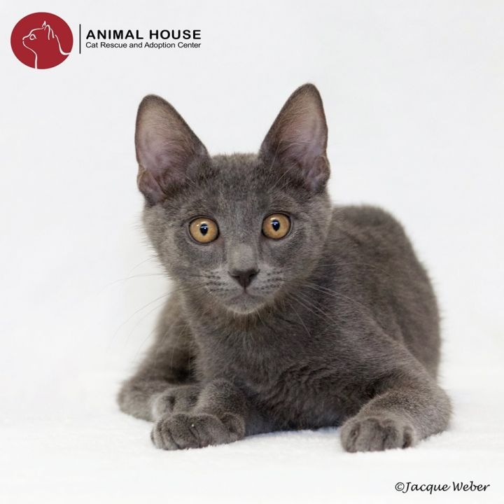 Grover, an adoptable Domestic Short Hair in St. Louis, MO