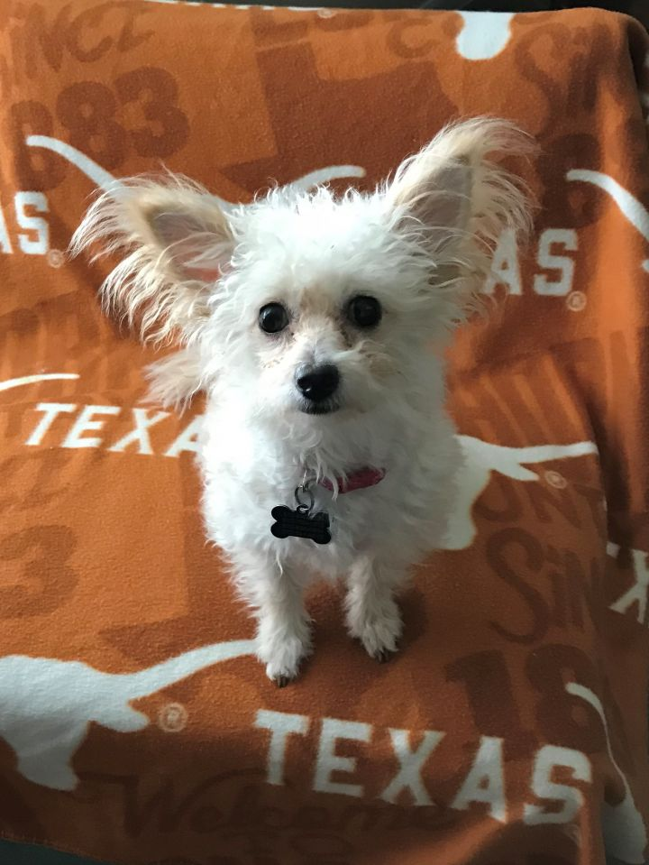 Clara, an adoptable Pomeranian & Miniature Poodle Mix in Austin, TX