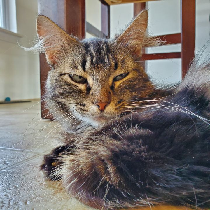 Ms Pac, an adoptable Domestic Long Hair Mix in Springfield, MO
