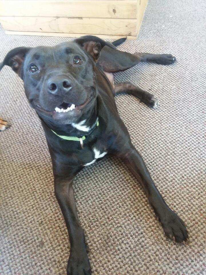 Dog for adoption - Diamond (CP), a Pit Bull Terrier Mix in Clinton