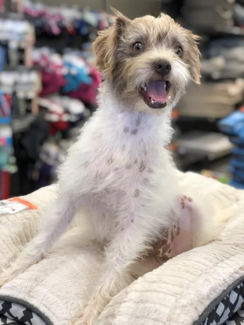 Dog For Adoption Blade A Terrier Shih Tzu Mix In Austin Tx