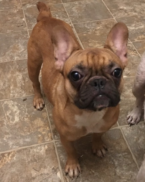 Dog For Adoption Amber A French Bulldog In Madison Ks Petfinder