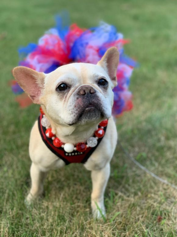 Dog For Adoption Kabela A French Bulldog In Pittsburgh Pa
