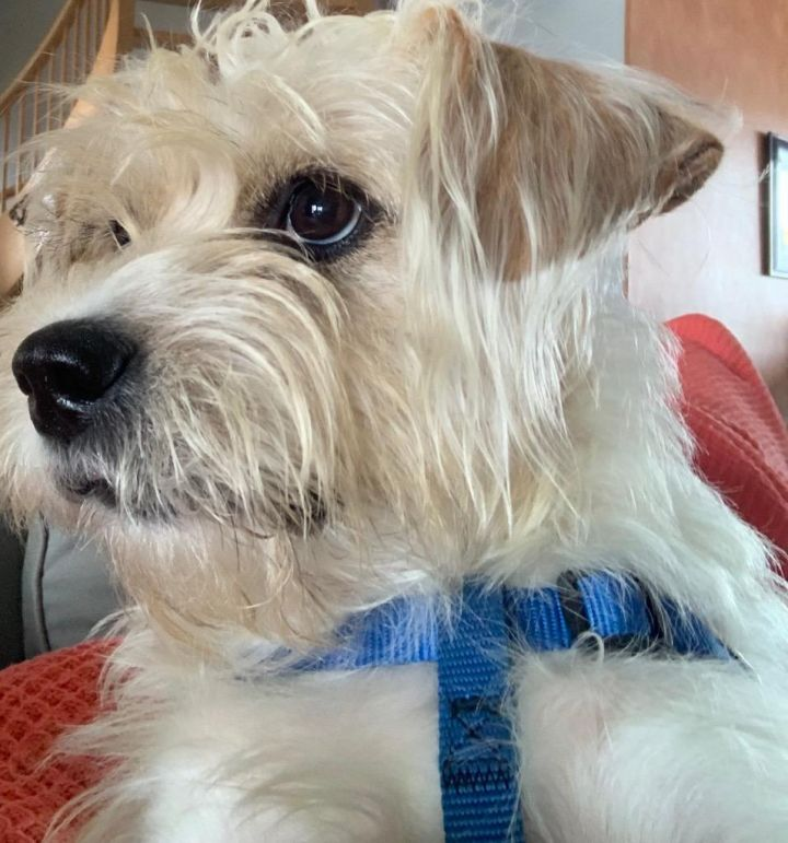 Cristo, an adoptable Shih Tzu & Terrier Mix in Mary Esther, FL