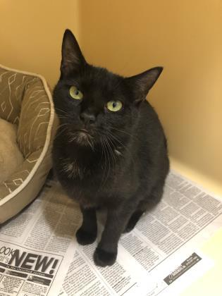 Marge, an adoptable Domestic Short Hair in Clarks Summit, PA