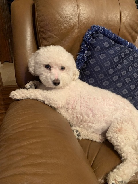 Poppy2, an adoptable Bichon Frise in Dallas, TX