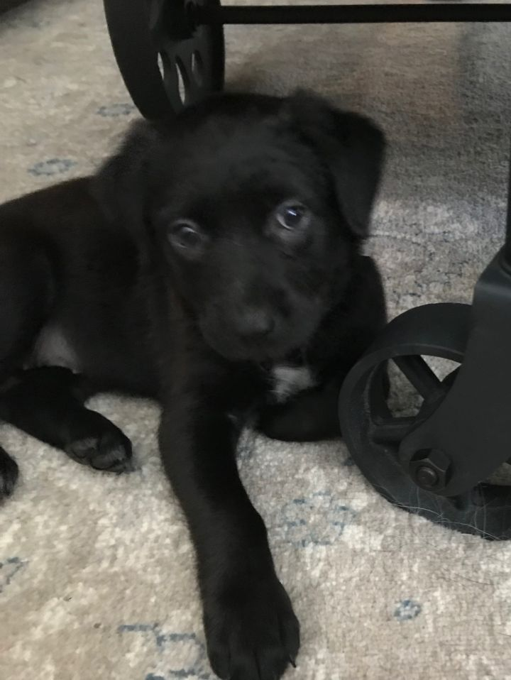 Happy, an adopted Black Labrador Retriever & Shepherd Mix in Fort Worth, TX
