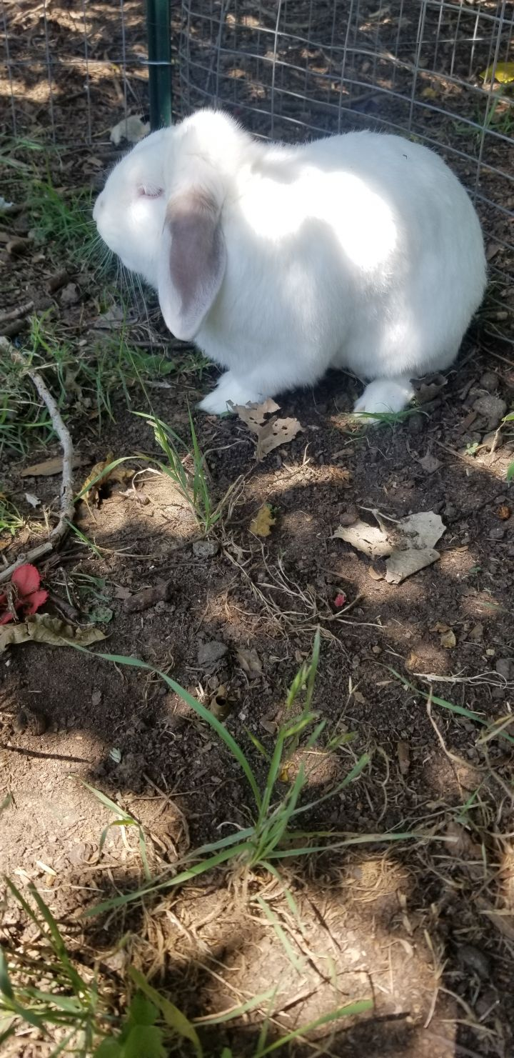 Lennen, an adopted Lop Eared in Dallas, TX