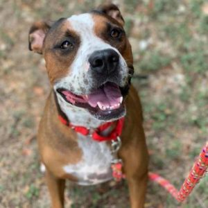 Dog for adoption - PETUNIA, a Boxer Mix in Kyle, TX   Petfinder