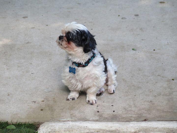 Dog for adoption - Jazzy, a Shih Tzu in San Antonio, TX