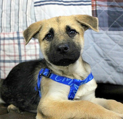 Rapturous Rambo, an adopted Terrier & Shepherd Mix in Reston, VA