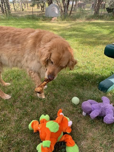 Dog for adoption - Lizbug, a Golden Retriever in Durango, CO