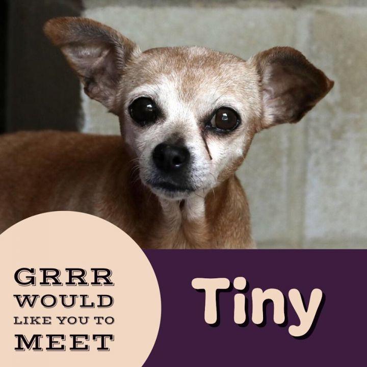 Dog for adoption - Tiny, a Chihuahua Mix in Savannah, GA