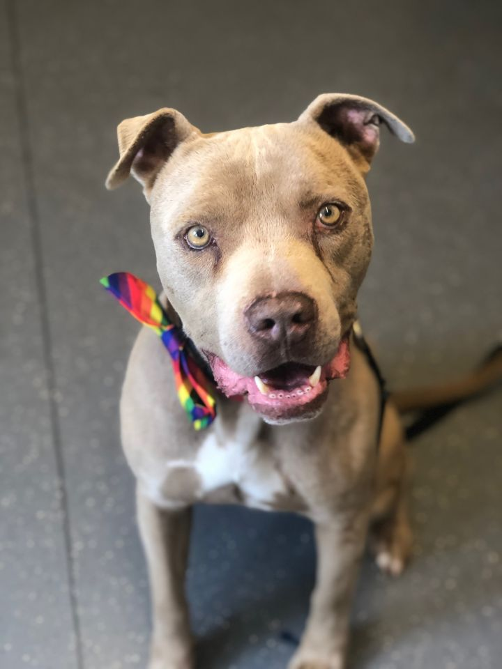 Hennessy, an adoptable American Staffordshire Terrier Mix in Pasadena, CA