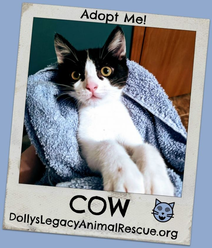 Cat for adoption - COW, a Tuxedo & Domestic Short Hair Mix in