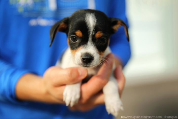 Brandi, an adopted Rat Terrier Mix in New York, NY