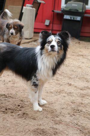 Dog for adoption - Ranger, an Australian Shepherd Mix in