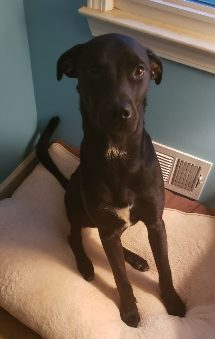 Cloudy, an adopted Rottweiler & Black Labrador Retriever Mix in Marietta, GA