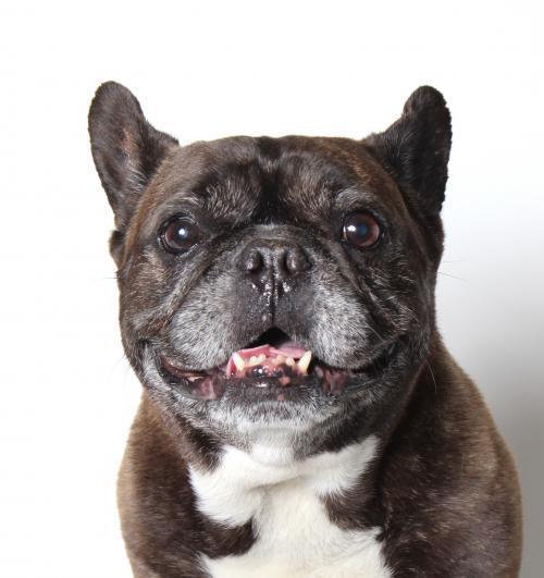 Dog For Adoption Bully A French Bulldog In Los Angeles Ca