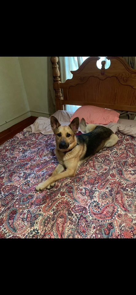 Topaz-I1929, an adoptable German Shepherd Dog Mix in Anoka, MN