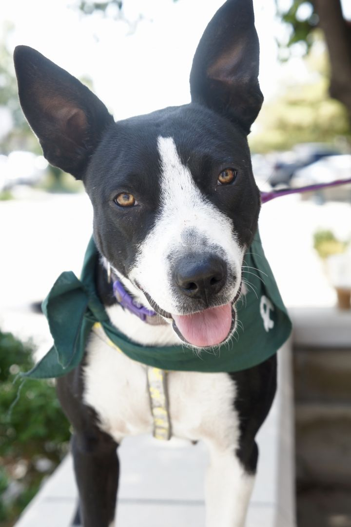 Xena, an adoptable Border Collie Mix in Manhattan, KS