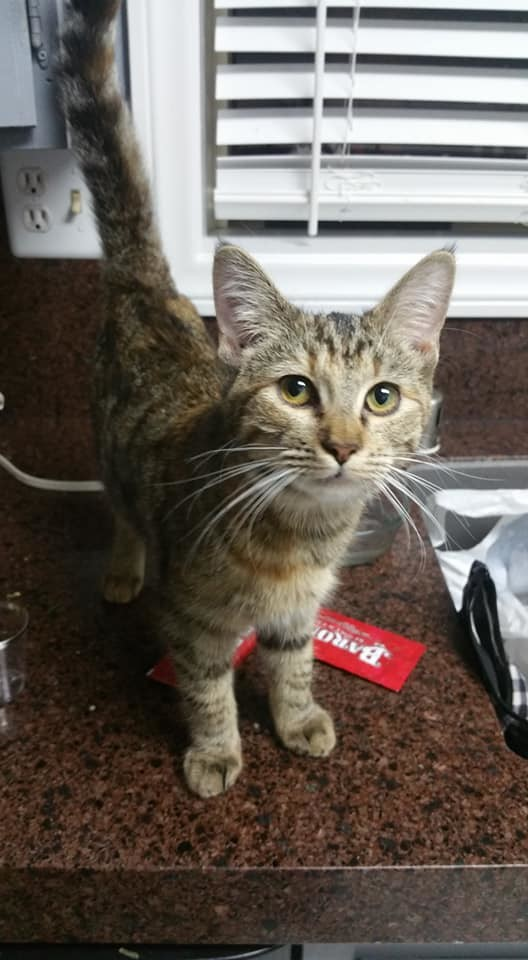 Tinker, an adopted Tabby & Domestic Short Hair Mix in Long Beach, CA