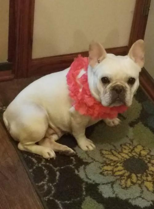 Dog For Adoption Jaci A French Bulldog In Saint Louis Park Mn